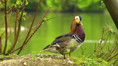 Mandarin duck Wood duck Perching duck water bird resting Stock Footage