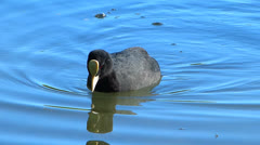 Coot Water Bird swimming swim dive diving for Algae weed Stock Footage