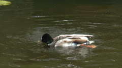Duck cleaning his plumage in a pond Stock Footage
