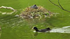 Coot Water Bird building nest nesting clutch in water idyllic - stock footage