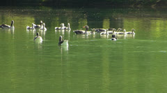 Group of Grey Goose n baby swimming dancing in water idyllic Stock Footage