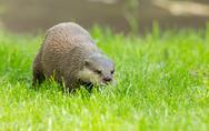 Stock Photo of wet otter is standing in the green grass