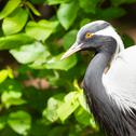 Stock Photo of adult demoiselle crane
