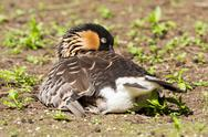 Stock Photo of red-breasted goose sleeping