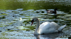 swan gliding through pond with water lillis - stock footage