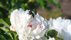 Bug on white flower Stock Footage