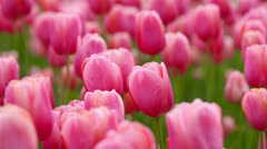 Many pink tulips in a field Stock Footage
