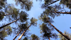 Fluctuation tops of pine trees - stock footage
