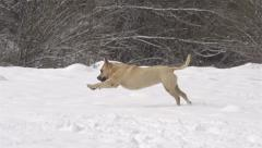 SLOW MOTION: Dog playing fetch in fresh snow Stock Footage