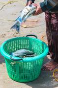 thai fisherman  releasing fresh fish into basket - stock photo