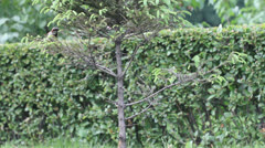 House Sparrow (Passer domesticus) eating on the decorative pine tree Stock Footage
