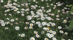 White flowers on a summer meadow Stock Footage