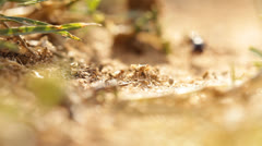 Small Ants walking ant insect working building tropical build busy Stock Footage