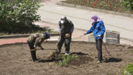 Chinese women planted flowers in the flowerbed 02 Stock Footage
