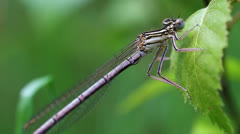 Northern damselfly Stock Footage