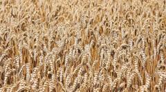 Golden wheat fields Stock Footage