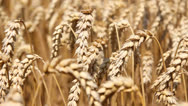Stock Video Footage of Golden wheat fields dancing in the wind