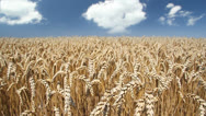 Stock Video Footage of Wheat field and clouds