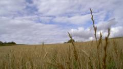 Camera passing through wheat field 01 Stock Footage