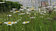 Stock Video Footage of wild flowers in urban setting  0306 13