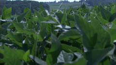 Close Up Leaves on Potato Plant in Field HD Video Stock Footage