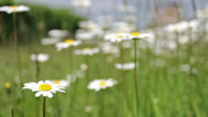 Stock Video Footage of wild flowers in urban setting  0306 15