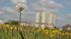 Dandelion blowing in the wind 0306 09 Stock Footage
