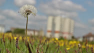 Stock Video Footage of dandelion blowing in the wind 0306 09