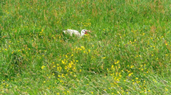 Stork feeding in grassland Stock Footage