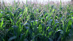 Zoom to Tassle of Corn Stalk HD Video Stock Footage