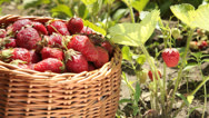 Stock Video Footage of Basket of strawberries on a personal plot