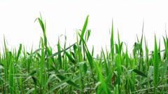 Reeds on white Stock Footage