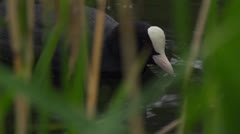 Black coot Stock Footage