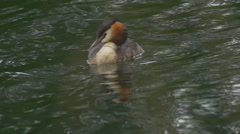 Great crested grebe - Podiceps cristatus Stock Footage