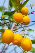 lemon growing on lemon tree - stock photo