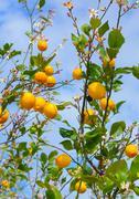 lemons growing on lemon tree - stock photo