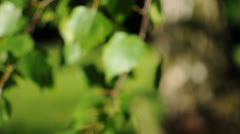Green Leafs of a Birch Tree Stock Footage