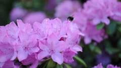 Beautiful Lilac Rhododendron and Bumblebee Stock Footage