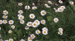 White flowers on a green summer meadow Stock Footage