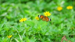 Common Tiger Butterfly swarms on yellow sulfur cosmos flower in the field. Stock Footage