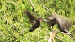 Young crows waiting her mom - stock footage