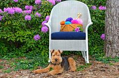 Welsh terrier in garden Stock Photos
