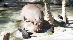 The hippopotamus is semi-aquatic, inhabiting rivers, lakes and mangrove swamp Stock Photos