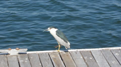 Black-crowned Night Heron Stock Footage