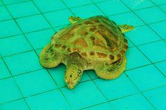 Stock Photo of sea turtle sleeping in the pond aquaculture.