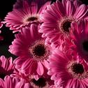 Stock Photo of bright pink gerbera flowers