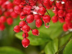 Water drop off red berries Stock Photos