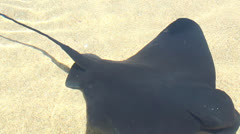 Stingrays in Shallow Water Stock Footage