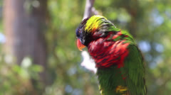 Rainbow Lorikeet Preening Stock Footage