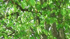 Green chestnut leafs and flowers Stock Footage